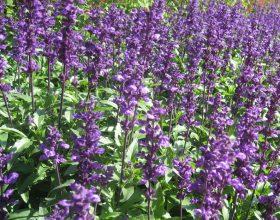 Sherbela (Salvia Officinalis) është antibiotik natyral