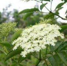 Sambucus nigra (shtogu)