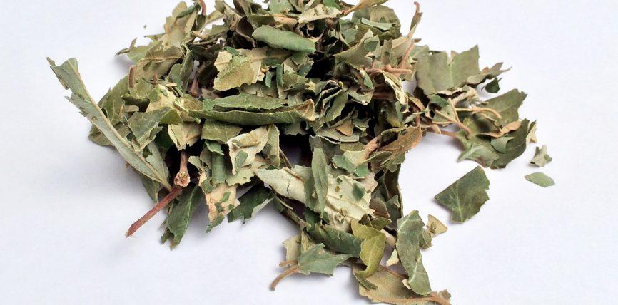 Gjethet sidrit ose Sidër i bluar, dobitë shëndetësore