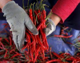 Speci djegës shkatërron këtë sëmundje pa ilaçe dhe krejt natyralisht