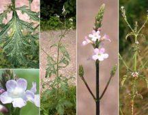 Verbena officinalis (sporishi mjekësor)