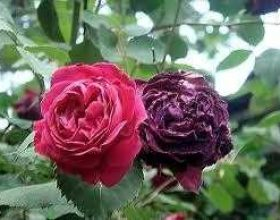 Trëndafilat (Verd – Roseceae)