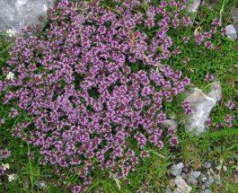 Thymus vulgaris (trumëza)