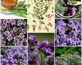Fuqia terapeutike e bimës mjekësore Trumzës – Thymus serpyllum
