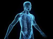Renditja e zhvillimit të organeve të njëriut