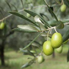 Receta me gjethe ulliri që shëron disa sëmundje