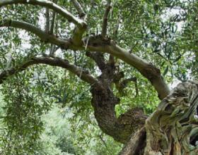 Vajin e ullirit pijeni dhe lyhuni me të, sepse ai del nga një pemë e begatë