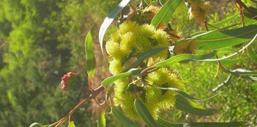 Eukaliptus oil (vaj EUKALIPTI)