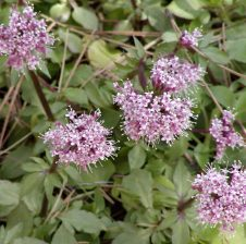 Valeriana përdoret si qetësues
