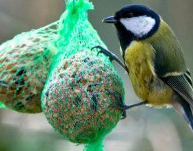 Ushqeni zogjtë e uritur në dimër